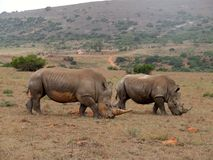 Rhino pair. This rhino couple were together for a while when i was working there. the female in the back was pregnant at that time Stock Images