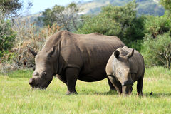 Rhino Pair Stock Photography