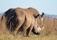 Rhino pair strolling Stock Photography