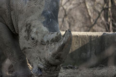 Mighty Rhino Horn Portrait  Stock Photo