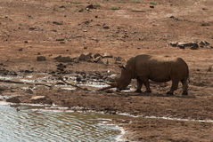 A rhino in Pilanesberg national park, South Africa stock images