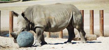 Rhino playing with ball Royalty Free Stock Photo