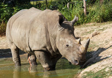 Rhino in Pond. At Khao Kheow Open Zoo Chon Buri Thailand Stock Photos