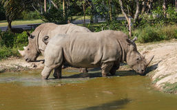 Rhino in Pond Stock Photo