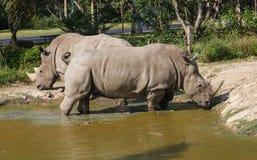 Rhino in Pond. At Khao Kheow Open Zoo Chon Buri Thailand Stock Photo