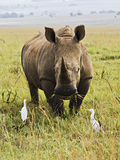 Rhino Portrait. A wild white rhino in South Africa stock photography