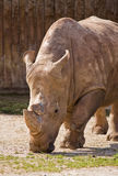 Rhino portrait Royalty Free Stock Photography