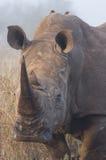 Rhino Portrait 2 Royalty Free Stock Photos