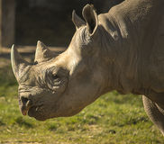 Rhino portrait Stock Images