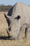 Rhino portrait. Portrait of a grassing white rhinoceros on a dry meadow in winter, South Africa royalty free stock photography