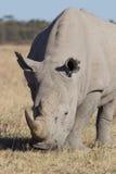 Rhino portrait Royalty Free Stock Photography
