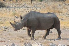Rhino portrait Royalty Free Stock Image