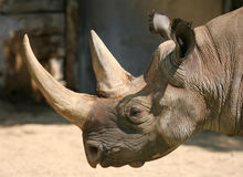Rhino Profile. Profile of Rhino with two horns Royalty Free Stock Images