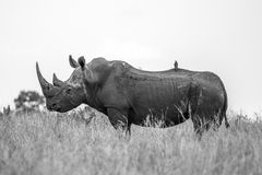 Rhino Profile. A beautiful White Rhino showing us a wonderful side profile. Majestic Creatures Stock Photos