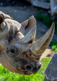 Rhino profile with duo horns. Rhino face from profile with two horns Royalty Free Stock Photo