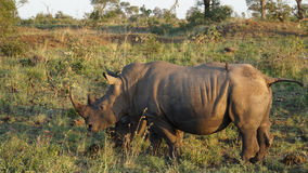 A Rhino with Red-billed Oxpeckers Stock Image