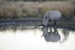 Rhino reflection Royalty Free Stock Photo