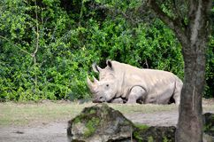 Rhino Relaxing. Rhinoceros relaxing as he stares at people Royalty Free Stock Images