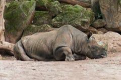 Rhino relaxing stock photography
