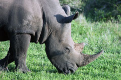Rhino in the reserve eats grass.,  Stock Images