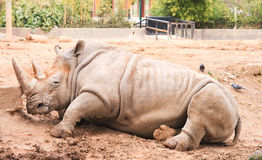 Rhino resting Stock Photo