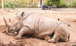 Rhino resting Stock Photo