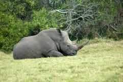 Rhino resting. A beautiful wild African Rhino bull with big horns lying in the grass, resting and watching other wildlife in a game reserve in South Africa Royalty Free Stock Image
