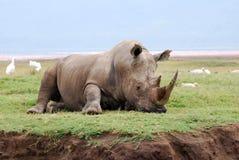 Rhino resting Stock Image