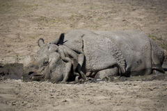 Rhino resting in a clearing Royalty Free Stock Image