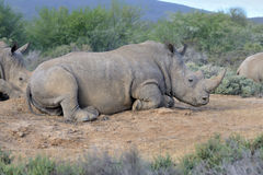 A rhino are resting on the ground Royalty Free Stock Image