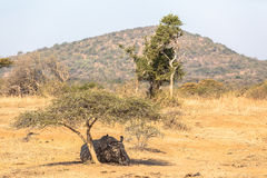 Rhino Resting Under Tree Landscape. Young White Rhino about three years old resting sleeping under a small acacia thorn tree at dry waterhole in the mid day sun Stock Photography