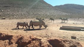 RHINOS ON RED GROUND royalty free stock photography