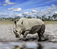Rhino (rhinoceros) Royalty Free Stock Images