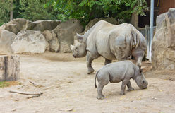 Rhino rhinoceros animal baby  zoo animals take care of babies Stock Photos