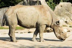 Rhino rhinoceros animal baby  zoo animals take care of babies Royalty Free Stock Photos