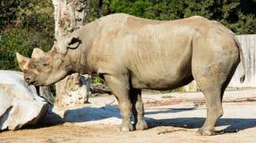 Rhino rhinoceros animal baby  zoo animals Royalty Free Stock Photos