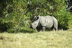 Rhino - Rhinoceros baby stock image