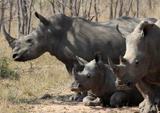 A rhino rhinoceros family group in the wilds of Africa. Truely spectacular Rhinoceros in Africa - safari travel is so exciting when you come across the royalty free stock photography