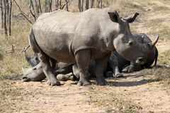 A rhino rhinoceros family group in the wilds of Africa. Truely spectacular Rhinoceros in Africa - safari travel is so exciting when you come across the stock images