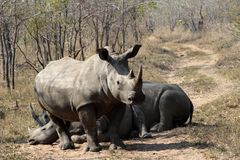 A rhino rhinoceros family group in the wilds of Africa. Truely spectacular Rhinoceros in Africa - safari travel is so exciting when you come across the royalty free stock image