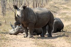 A rhino rhinoceros family group in the wilds of Africa. Truely spectacular Rhinoceros in Africa - safari travel is so exciting when you come across the royalty free stock photos
