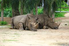 Rhino. Ceros often abbreviated as , is a group of five extant species of odd-toed ungulates in the family cerotidae. Two of these species are native to Africa Royalty Free Stock Photo