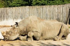 Rhino rhinoceros zoo animal big horn Stock Photography