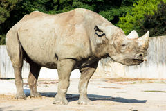 Rhino rhinoceros zoo animal wild Stock Photos
