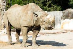 Rhino rhinoceros zoo animal wild heavy body Royalty Free Stock Images