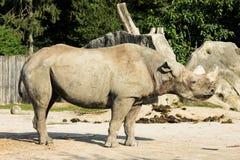 Rhino rhinoceros zoo animal wild heavy body Royalty Free Stock Photo