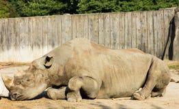 Rhino rhinoceros zoo animal wild heavy body Stock Photos