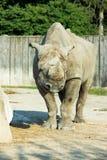 Rhino rhinoceros zoo animal wild heavy body Royalty Free Stock Image