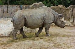 Rhino rhinoceros zoo animal wild heavy body Stock Image