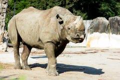 Rhino rhinoceros zoo animal wild heavy body Royalty Free Stock Photography
